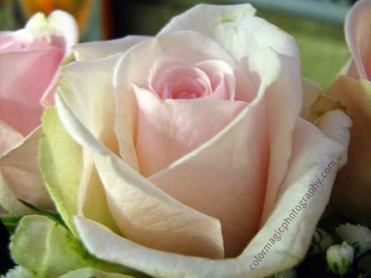 Pale pink rose-macro