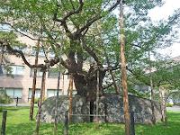 石割桜、藩の屋敷跡の庭石の割れ目に桜の種が飛んで目を出した。