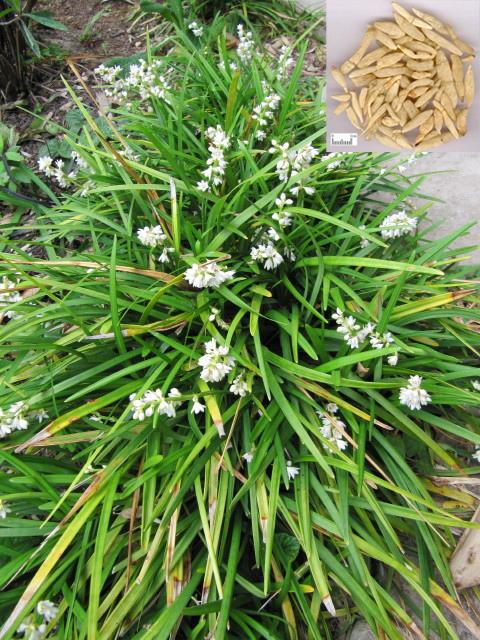 Ophiopogon japonicus (Thunb.) Ker-Gawl. (Fam. Liliaceae)