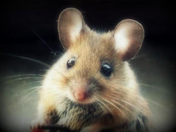Get Rid of Mice-Rat