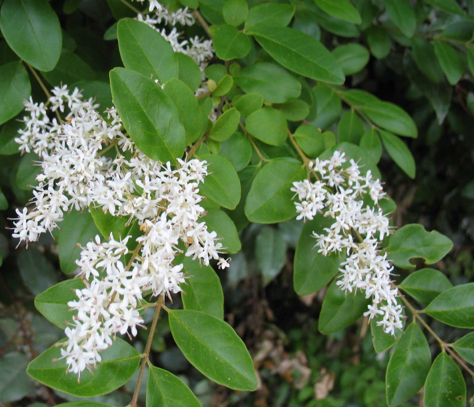Using georgia native plants free plants that bite back ligustrum sinense mightylinksfo