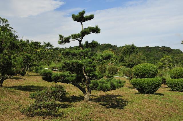 pinheiro negro no jardim japonês