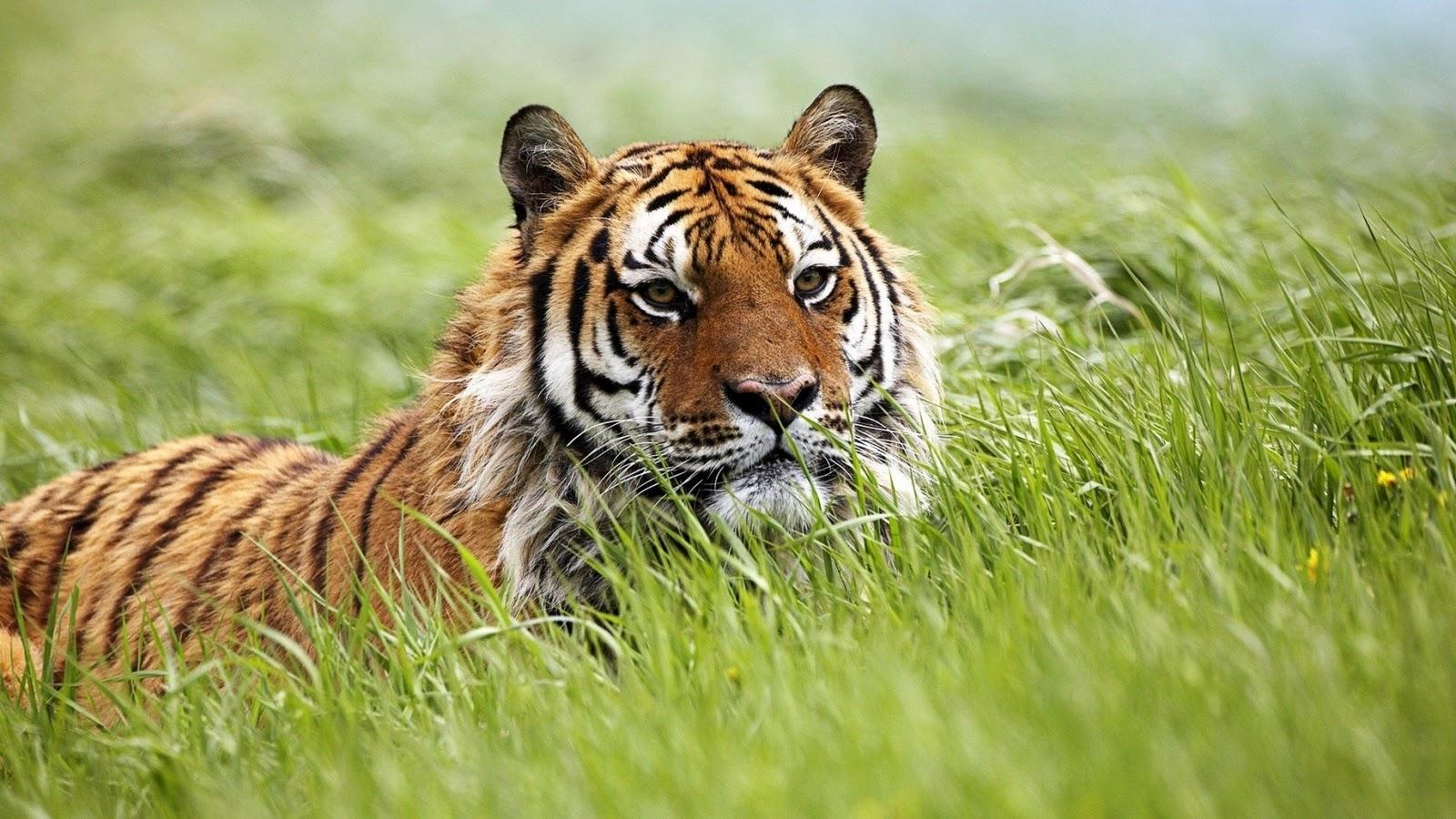 http://2.bp.blogspot.com/-iunkVtmtVDo/TtdAaL_h3VI/AAAAAAAAAYE/m453SsPkPQs/s1600/Siberian-Tiger-Wallpaper.jpg