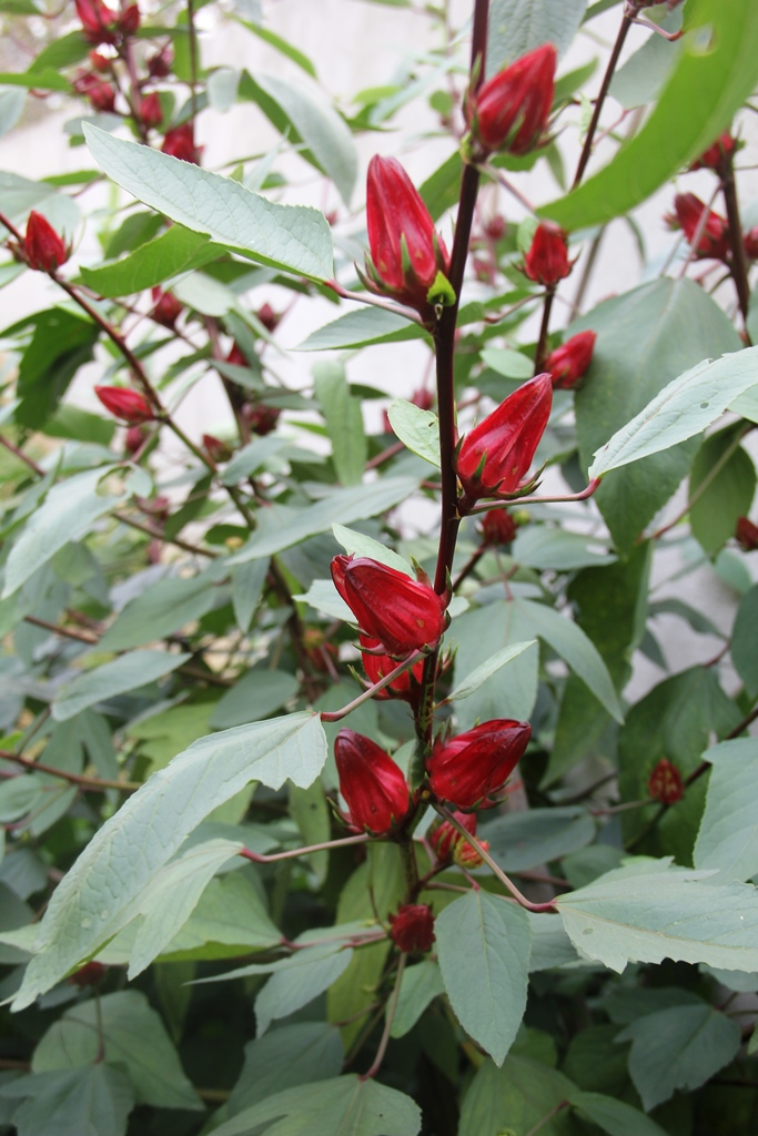 On The Green Side Of Life: Growing Roselle/Rosella