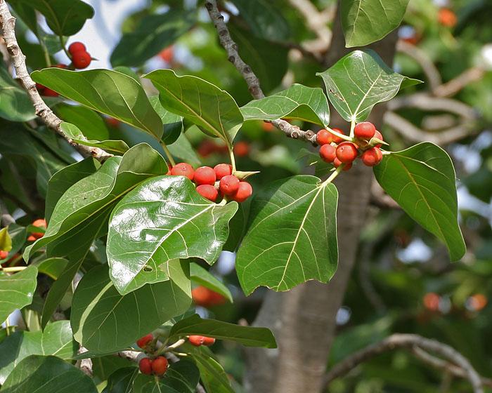 Trees Planet: Ficus benghalensis - Banyan Tree