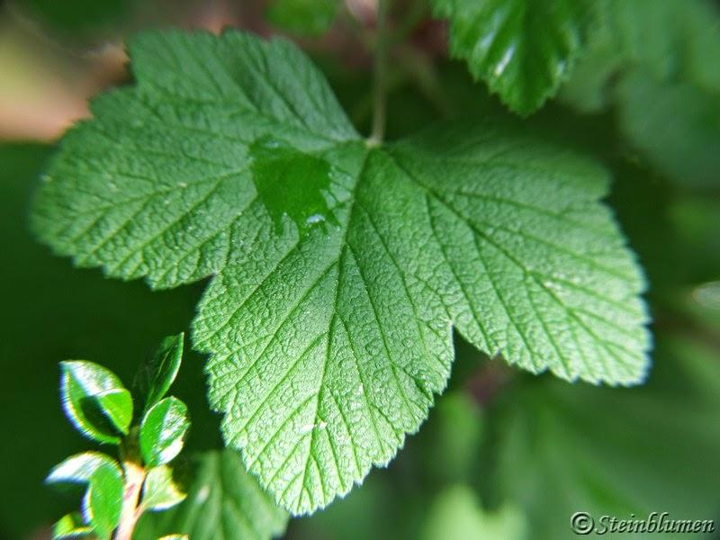 Zierjohannisbeeren Blätter