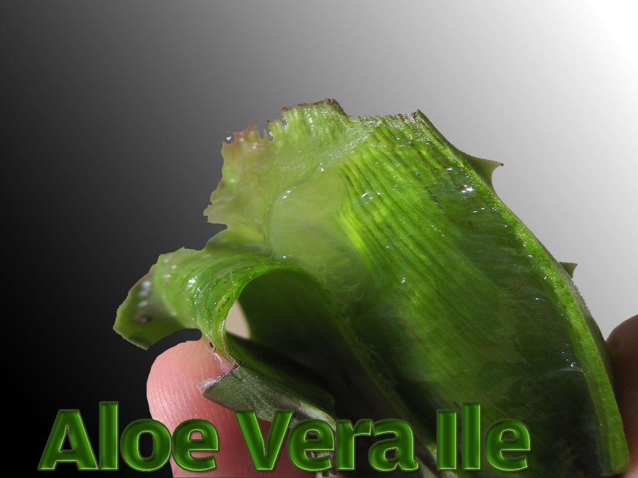 Etiket: Aloe Vera'nın faydaları
