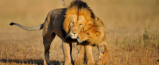 'King' Lion with his cub