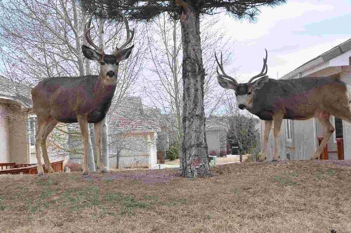Deer coloradoviews.blogspot.com