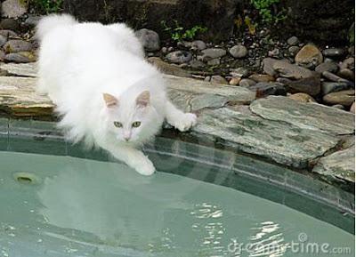 Foto Kucing Anggora 02