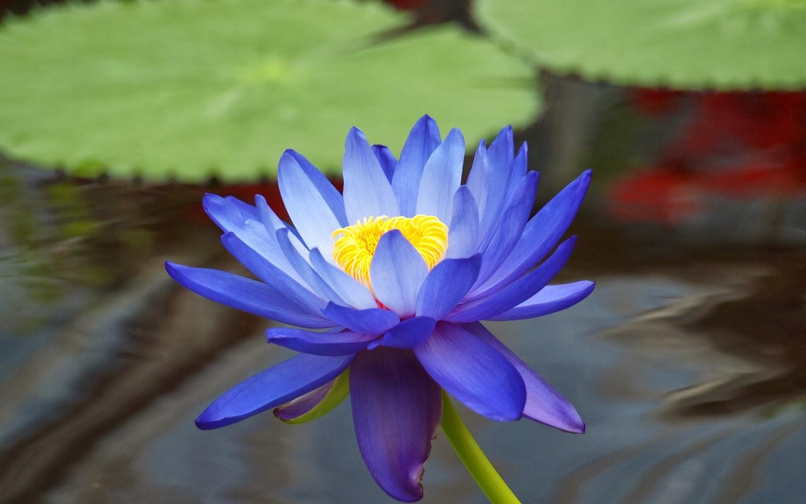 Flores de Loto azul y Lirios de Agua azules