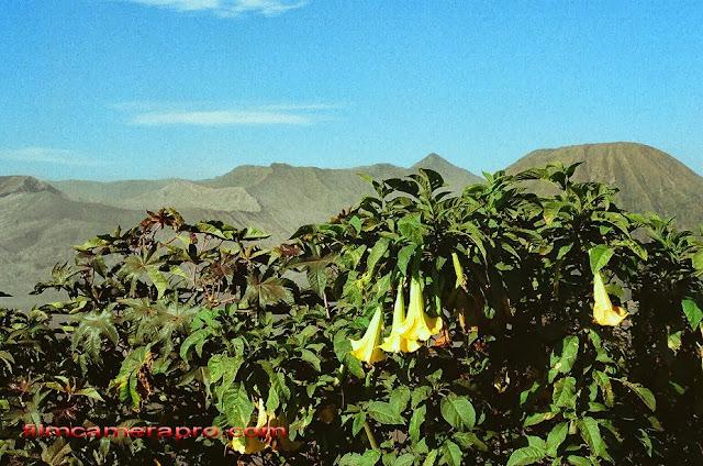 Datura, Trumpet flower