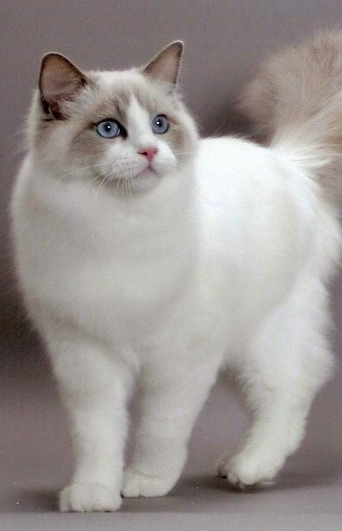 Top 5 Friendliest Cat Breeds Of Planet