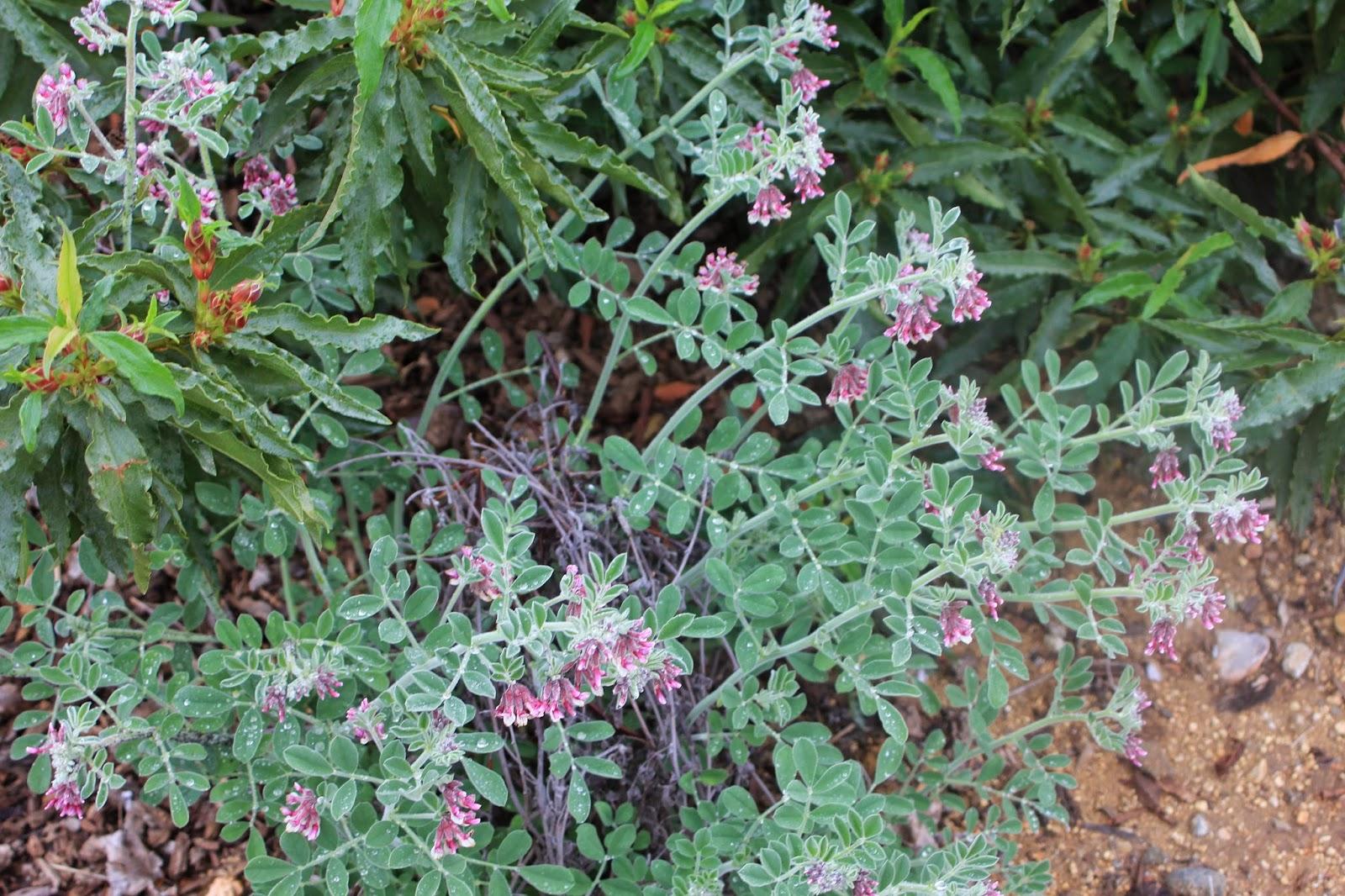 Otay Mountain Lotus 2/22/15 Otay Mountain Lotus