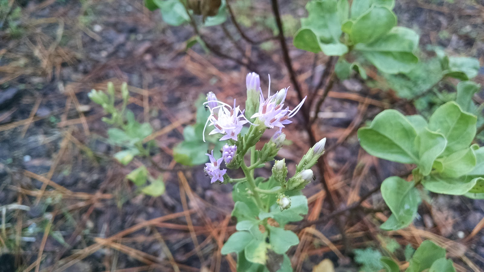 In The Fall, Garberia Blooms With Pale Purple Frilly Blossoms That Are A  Great Attractant To Butterflies. When I Fist Encountered This Plant Growing  In The ...
