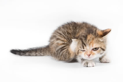 Most Effective Way To Get Rid Of Cat Fleas