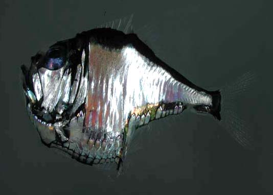 Real Monstrosities: Marine Hatchetfish