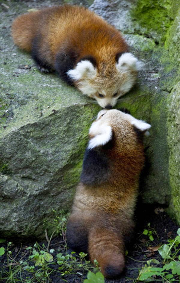 40 Adorable red panda pictures (40 pics), two cute baby panda kissing