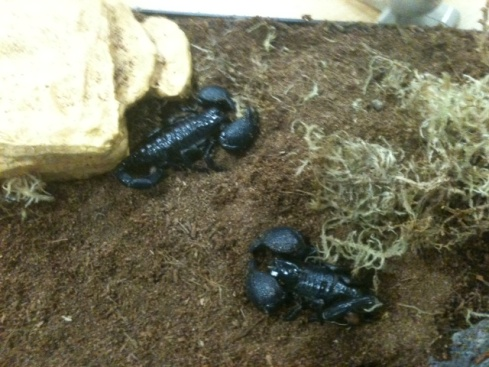 photo of scorpions