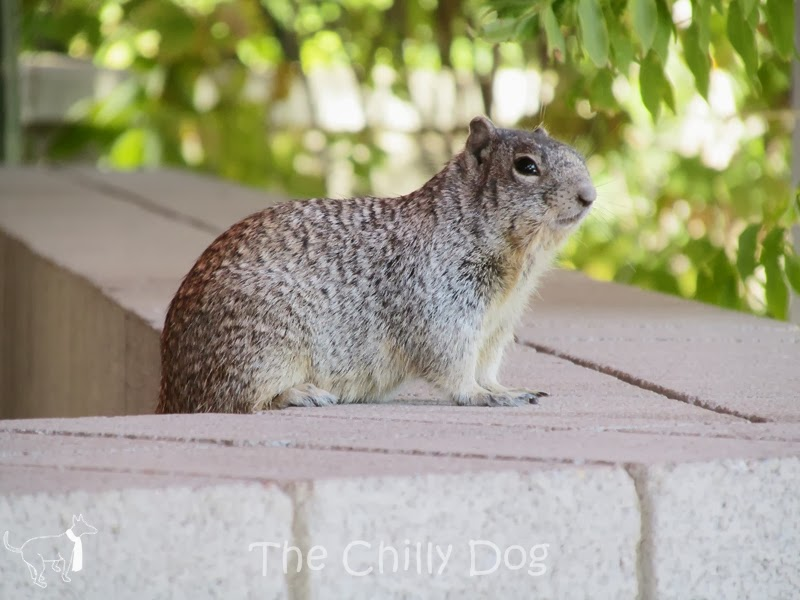 Field Trip: Arizona-Sonora Desert Museum - Squirrel