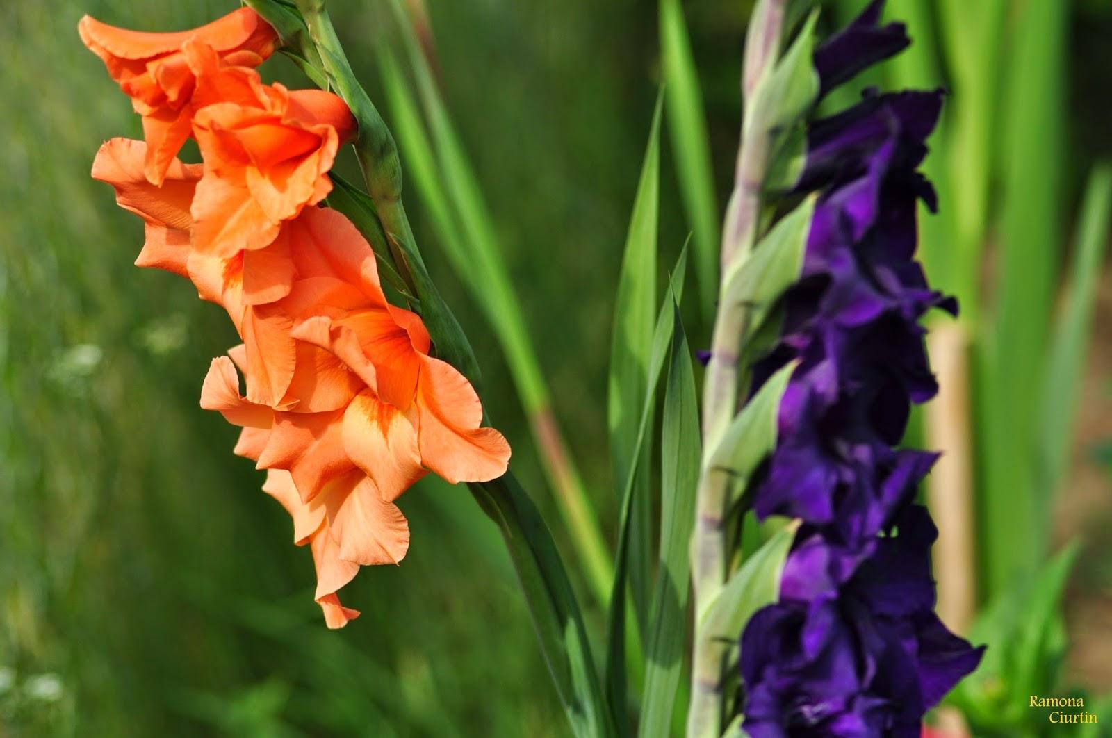 Beautiful Gladiolus Iridaceae flower
