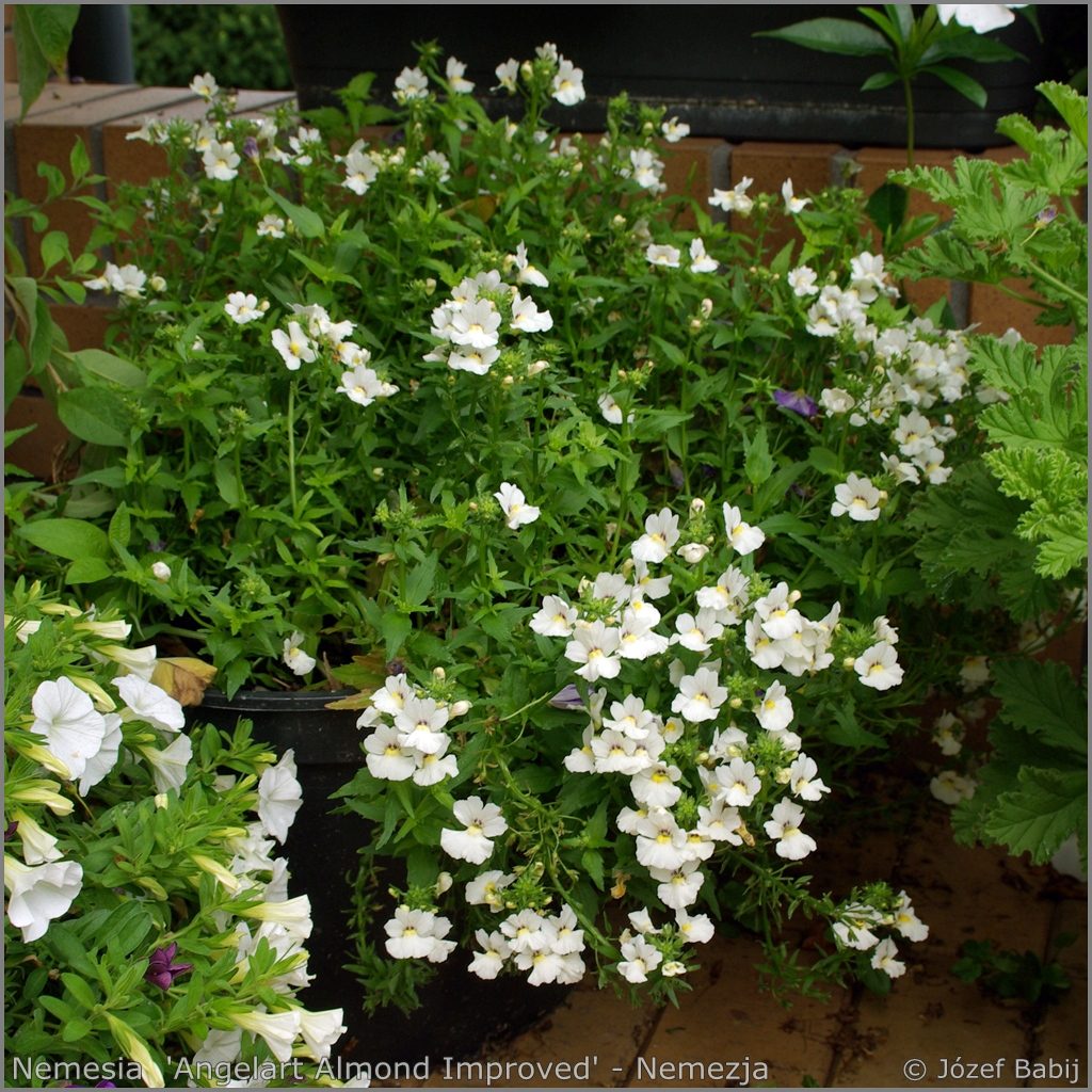 Nemesia  'Angelart Almond Improved' - Nemezja 'Angelart Almond Improved'
