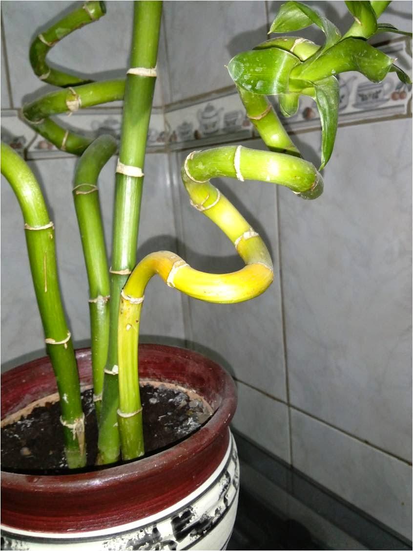 Vida a lo verde living in green problemas y cuidados - Bambu cuidados en maceta ...