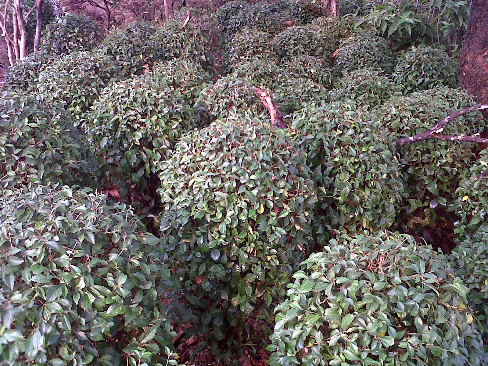 Pohon teh-tehan bulat | suplier tanman hias | jasa tukang taman | renovasi taman