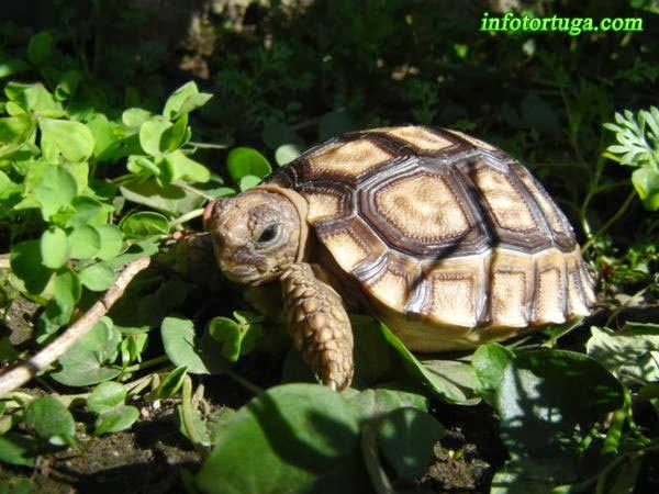 Un zoo en casa: Chelonoidis chilensis - Tortuga argentina