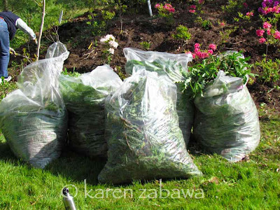 Clear bags hold weeds for compost pile, as it's easier to carry them when you don't have wheelbarrows.