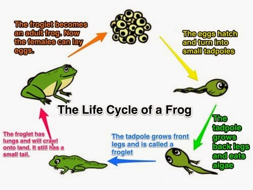 depection of a frog life cycle