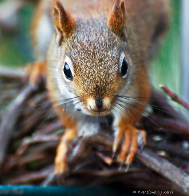 Squirrel - Face to Face Fun