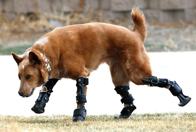 Νάκι: Ο πρώτος σκύλος με τεχνητά πόδια