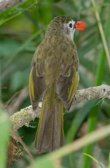 Pale-faced Bulbul (Pycnonotus leucops)