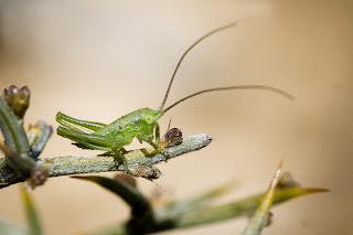 Para ampliar Tettigonia viridissima (Saltamontes verde) hacer clic