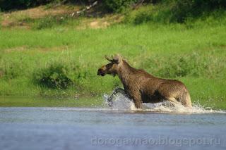Бедные животные не зная куда деться от кровопийц находят спасение в воде, река Шапкина
