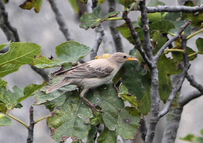 Aves de Villadún-Penarronda: V-P: Críalo, Estornino Rosado, unas fotos