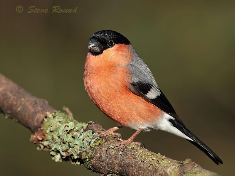 bird, bullfinch, nature, wildlife