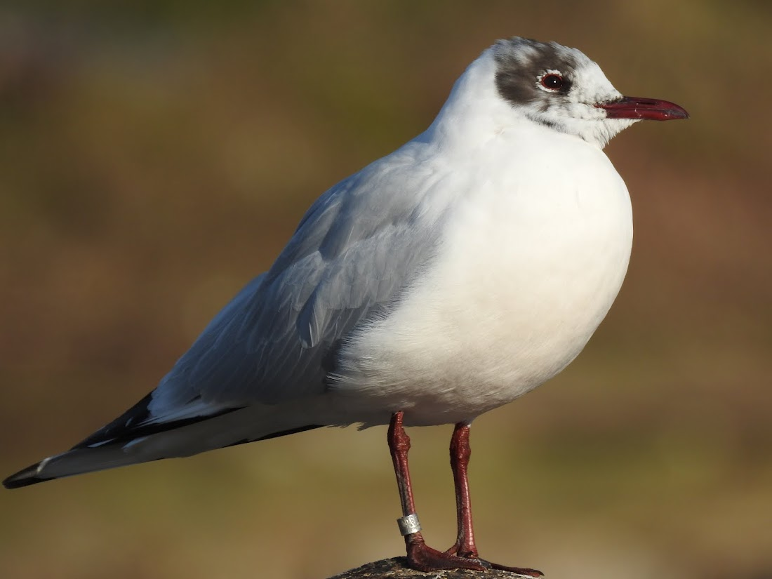 Black-headed Gull - EG55380 (28 Feb 2016)