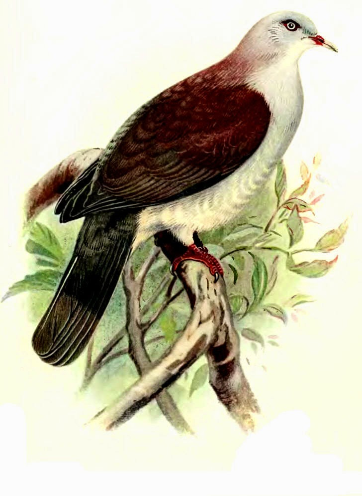 Mountain imperial pigeon Ducula badia