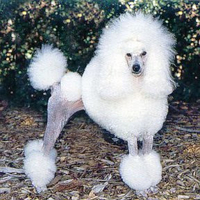 poodle dog pupies puppy hair cuts model style animal pets dog apricot