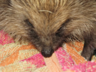 animal rescue hedgehog