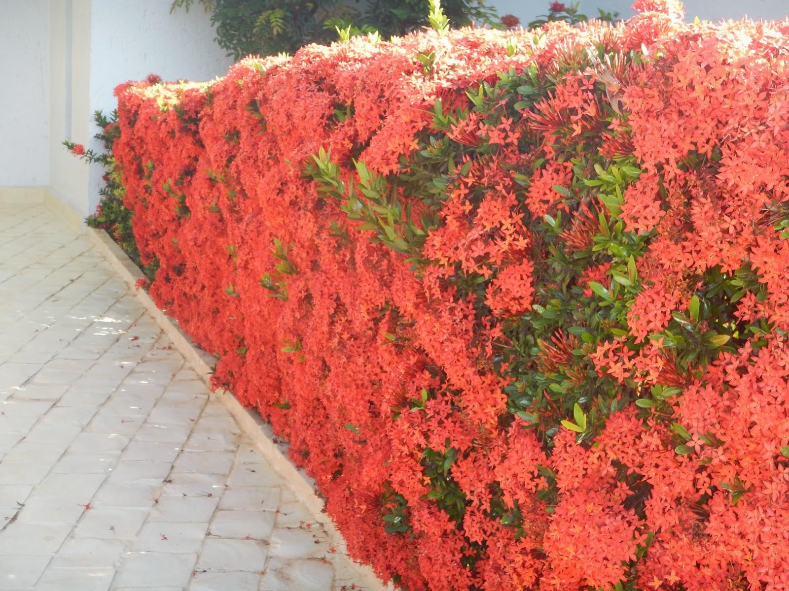 Favoritos Blog da Adriana Alvim: Ixora - jardim florido e protegido CL78