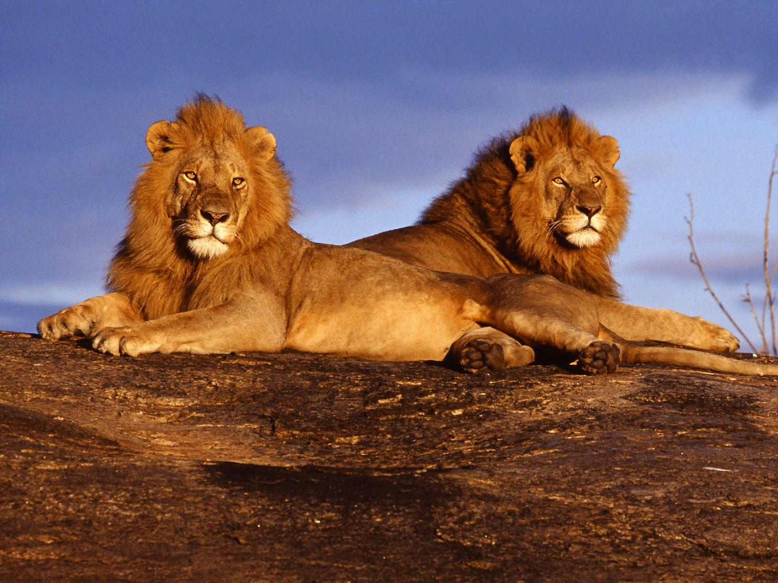 http://2.bp.blogspot.com/-j0Nd3nptXo4/T4L2HPwF9FI/AAAAAAAAACU/D5wvF_mm1S0/s1600/African+Lions+Masai+Mara+Kenya.jpg