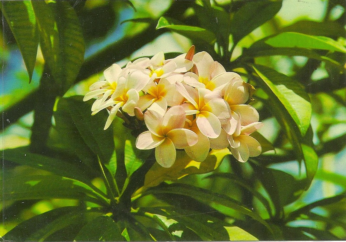 Uibles a family blog 1994 hawaii postcard feb24 captioned white plumeria blossoms are one of the most popular of all varieties of plumeria family for stringing a garland of flowers the hawaiian izmirmasajfo Images