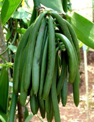 cara budidaya tanaman vanili