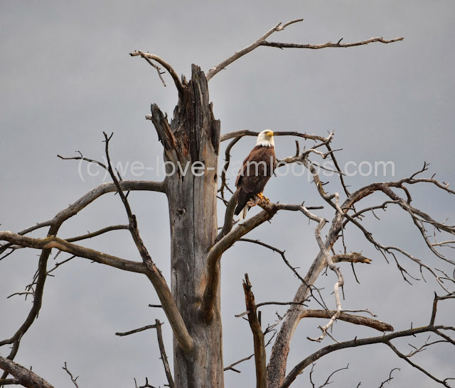 A bald headed eagle sits high in the tree