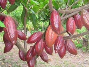Cara meningkatkan hasil panen kakao dengan pupuk organik nasa