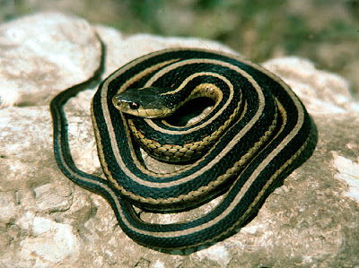 gran serpiente oriental Thamnophis sirtalis