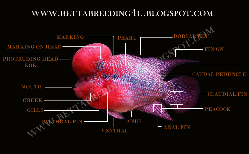 All About Betta Fish Parts Of A Flowerhorn